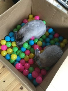 Flemish giants looking for treats in the ball pit. Rabbit Treats, Rabbit Toys, Bunny Rabbit, Cute Baby Dogs, Cute Baby Bunnies, Flemish Giants, Diy Bunny Toys, Flemish Giant Rabbit, Poodles
