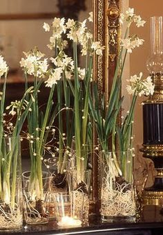 Forcing Paperwhites/ Narcissus Bulbs | industrial contractor. Paper whites in glass columns with nothing but water between the two strong with fairie lights make a magical holiday centerpiece.h