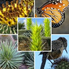 A GUIDE TO NORTHEASTERN GARDENING: Desert Botanical Garden - Phoenix, Arizona- The Desert Botanical Garden is a 140 acre botanical garden located in Phoenix, Arizona that was founded by the Arizona Cactus and Native Flora Society in 1937 and established at this site in 1939.  It is the home to more than...read more at http://landscapedesignbylee.blogspot.com/2015/09/desert-botanical-garden-phoenix-arizona.html#.Vl5LFHarSUl