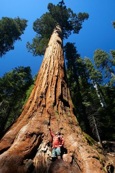 Giant Sequoia. These trees grow along the Sierra Nevada Mountain range in Caifornia. They are the largest trees in the world in terms of volume.  I love how in this photo the whole tree is shown WITH a person to show comparison in size =)