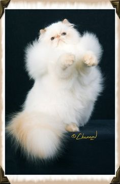 """Persian Cat Shorthaired """"Carry me, Human. Pretty Cats, Beautiful Cats, Kittens Cutest, Cats And Kittens, Cat In Heat, How To Cat, Mean Cat, Himalayan Cat, Buzzfeed Animals"""