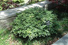 Click to view full-size photo of Murasaki Kiyohime Japanese Maple (Acer palmatum 'Murasaki Kiyohime') at Jim Melka Landscaping & Garden Center