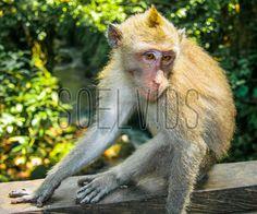 Monkey Forest in Ubud, Indonesia #SacredMonkeyForestSanctuary #Ubud #Indonesia