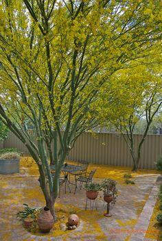 Desert Museum Palo Verde tree - draught tolerant and flowers spring through summer