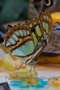 Twitter / idophotographs: #Sensational #Butterflies & ...