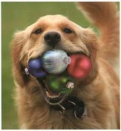 Whaddya mean they're not tennis balls... huh? Golden Retrievers love everything that's round