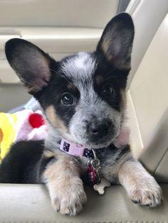 Cowboy Corgi Puppy named Dixie Cowboy Corgi Puppy named Dixie Source by The post Cowboy Corgi Puppy named Dixie appeared first on Welch Puppies. Cute Corgi, Cute Puppies, Lab Puppies, Baby Dogs, Pet Dogs, Weiner Dogs, Cowboy Corgi, Poodles, Welsh Corgi Puppies