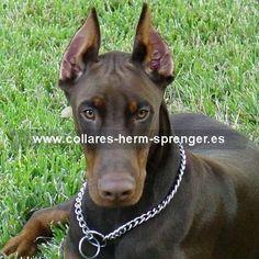 #Doberman con el #collar de #cadena #Herm Sprenger (Alemania). Enorme variedad de #collares para #paseo y #adiestramiento de #perros. Modelos de acero cromado, acero inoxidable, acero pavonado, curogán y latón. Siga el enlace http://www.collares-herm-sprenger.es/index.php/cadenas y elija un #collar para su #perro.