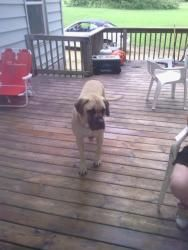 Kane is an adoptable Mastiff Dog in Beloit, WI. Kane is a 3yr young English Mastiff. He loves kids and other dogs/cats. We think he will do best in a home with kids over 5. He walks good on a leash an...