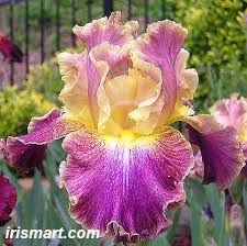 Image result for bearded iris pics