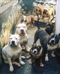 Lots of Pitbull love hell yes Beautiful Dogs, Animals Beautiful, Cute Animals, Nanny Dog, Carlin, Bully Dog, Dog Shaming, Pit Bull Love, Pitbull Terrier