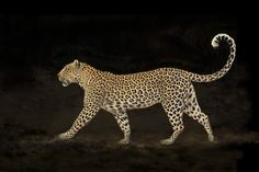"""Leopard Walk by Mario Moreno A female Leopard ( Panthera pardus ) named """" Rock Fig jr. """" walking passed our game . Animals And Pets, Cute Animals, Jaguar, Panthera Pardus, Cat Anatomy, Game Reserve, African Safari, Cat Breeds, Big Cats"""