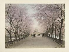 Happy cherry blossom season! Akasaka, Tokyo by New York Public Library, via Flickr