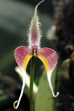 Bulbophyllum blumei | by Mikaels orchids