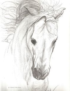 Horse Portrait of a Grey Arabian Stallion done in pencil on watercolor paper. This is an original drawing for sale. The drawing is 9 inches X 12 inches in size and is signed by the artist. This will b