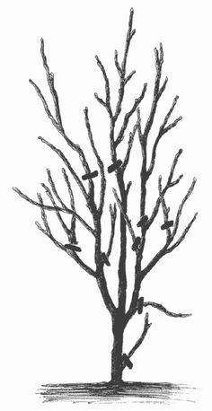 Читать бесплатно книгу Слива, терн, алыча... Сорта, выращивание, календарь садовых работ, Николай Звонарев (3-я страница книги)