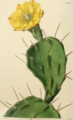 Opuntia vulgaris, or Prickly Pear Cactus. Opuntia vulgaris, or Prickly Pear Cactus. Cactus Drawing, Cactus Painting, Cactus Art, Cactus Flower, Flower Art, Flower Film, Watercolor Cactus, Art And Illustration, Illustration Cactus