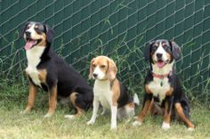 One of these dogs is not like the others :) Entles are always black with specific tan and white markings. The Entle is much bigger in bone and height, has a more rectangular appearance, shorter ears and a flatter head. Entles are Swiss herding cattle dogs, Beagles hunting scent hounds. I love Beagles but they look nothing like Entles! LOL