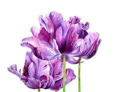 helen campbell botanic art | HC Botanicals Flowers gallery Purple Tulips image