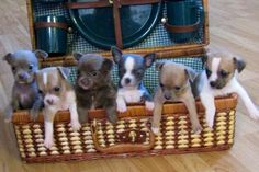 Chihuahua puppies in suitcase image via www.Facebook.com/CuteChihuahuaFans