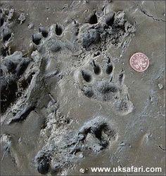 wild otter footprints
