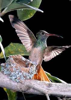 Buff-bellied Hummingbird At Nest by Anthony Mercieca