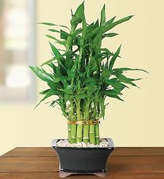 Bamboo house plant bamboo plants growing inside a house bamboo hous Bamboo House Plant, Lucky Bamboo Plants, Bamboo Garden, Sympathy Plants, Fresh Flowers Online, Bamboo Stalks, 800 Flowers, Inside A House, Buy Plants Online