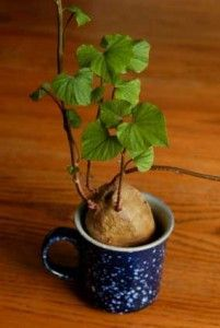 Growing sweet potatoes in a cup DIY project  http://thegardeningcook.com/growing-sweet-potatoes/