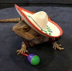 Mexican Fiesta Costume for Bearded Dragons Two by PamperedBeardies Bearded Dragon Costumes, Bearded Dragon Funny, Bearded Dragon Diet, Les Reptiles, Cute Reptiles, Cute Lizard, Dragons, Animal Quotes, Exotic Pets