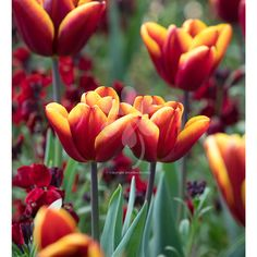 Buy Tulip 'Abu Hassan' from Sarah Raven: 'Abu Hassan' tulip is an old-fashioned tulip with rich, tapestry-coloured charm. Plant yours today!