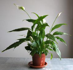 Komeaviirivehka eli Spathiphyllum Floribundum-ryhmä. Tietoa ja hoito-ohjeita.