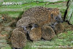 Hedgehog breastfeeding, by Manfred Danegger