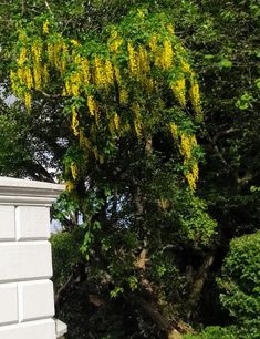 Plant Of The Week 🌿  Laburnum a deciduous tree often called the golden chain tree due to its yellow hanging flowers. Grown purely as an ornamental, all parts of the tree are extremely poisonous. Our mild Irish climate provides ideal growing conditions for this highly decorative tree. We have several examples of Laburnum growing on the estate. Golden Chain Tree, Georgian Homes, Hanging Flowers, Deciduous Trees, Tree Decorations, Irish, Old Things, Yellow, Garden