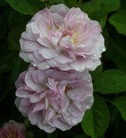Florence Delattre rose