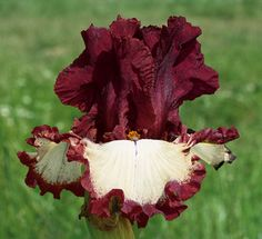 Class Ring | Tall Bearded Iris  Schreiner's Iris Gardens