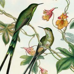 Hummingbird Prints from John Gould, Monograph of the Trochilidae, or Family of Hummingbirds 1861 Botanical Drawings, Botanical Prints, Sibylla Merian, Bunny Painting, Shadow Art, Bird Artwork, Arte Pop, Bird Prints, Graphic