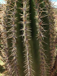 Saguaro in Apache Junction AZ