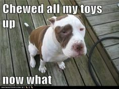 photo funny-dog-pictures-chewed-all-my-toys-up-now-what.jpg