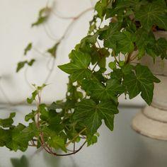 Ivy Plants, Foliage Plants, Cool Plants, Garden Plants, Potted Plants, English Ivy Indoor, English Ivy Plant, Ivy Plant Indoor, Paper Pot