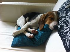 Beagles - comfortable anywhere!