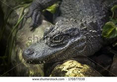 Close up of a lying Chinese alligator (Alligator sinensis)