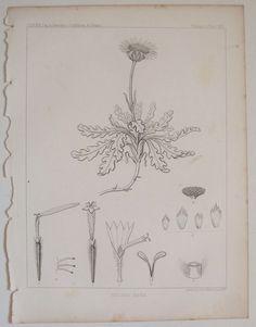 HULSEA NANA Daisy 1857 Botanical USPRR Railroad RR Survey for the hand colorist #Realism