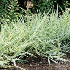 Phalaris arundinacea 'Picta'  (Ribbon Grass).                                                                         Attractive variegated green and white leaves. Standing at a height of approx. 2' and fast spreading makes it a great ground cover.  Is tolerant to both moisture and drought.