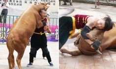 Chinese wrestlers get to grips with bulls