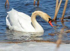 Swan Swan, Wildlife, Photos, Animals, Swans, Pictures, Animales, Animaux, Animal