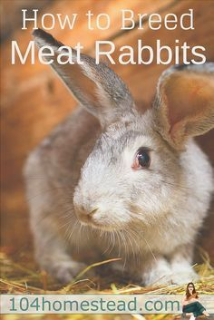 Rabbit meat is popular among homesteaders because rabbits are easy to raise and they breed easilyand birth in less time than other traditional homestead livestock like sheep goats pigs and cows.Rabbits also produce lean healthy meat that'?s low in fat. Raising Rabbits For Meat, Meat Rabbits, Backyard Farming, Chickens Backyard, Rabbit Farm, Rabbit Breeds, Healthy Meats, Rabbit Hutches, Mini Farm