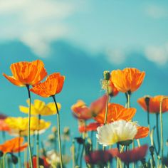 Orange poppies against a turquoise blue sky #floral #flowers