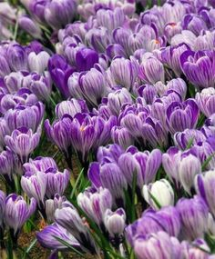 825cf7de065f12 Crocus vernus Pickwick - Dutch Large Flowering Crocus - Crocus - Flower Bulb  Index