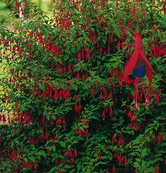 Fuchsia riccartonii Hedging Plants, Garden Plants, Red Flowers, Pretty Flowers, Fuchsia Plant, Garden Hedges, Herbaceous Border, Unique Plants, Compost