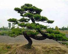Pinus thunbergii - Japanse zwarte den - Palma Verde Exoten V. Bonsai Garden, Garden Trees, Garden Art, Cloud Pruning, Pine Bonsai, Bonsai Tree Types, Tree Seedlings, Japanese Tree, Baumgarten